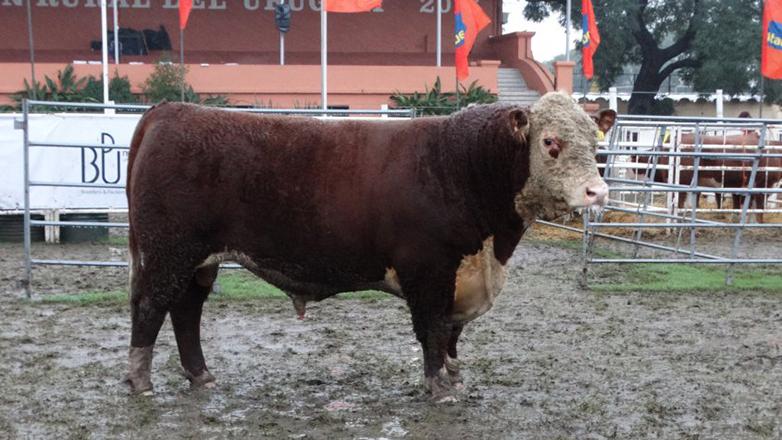 Las bondades de la ganadería uruguaya y el aporte a una raza pionera