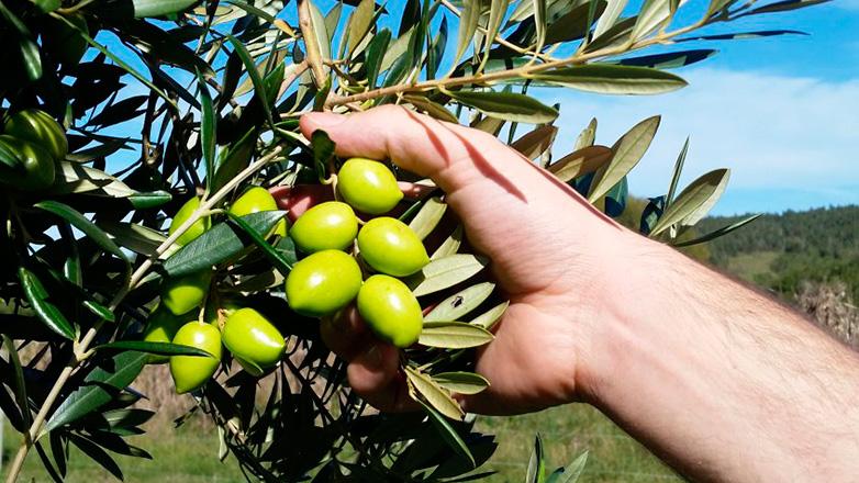 El aceite de oliva Sabiá ahora tiene planta propia