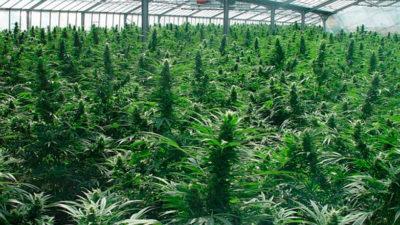 Estiman que 128 mil consumidores de marihuana comprarán en farmacias