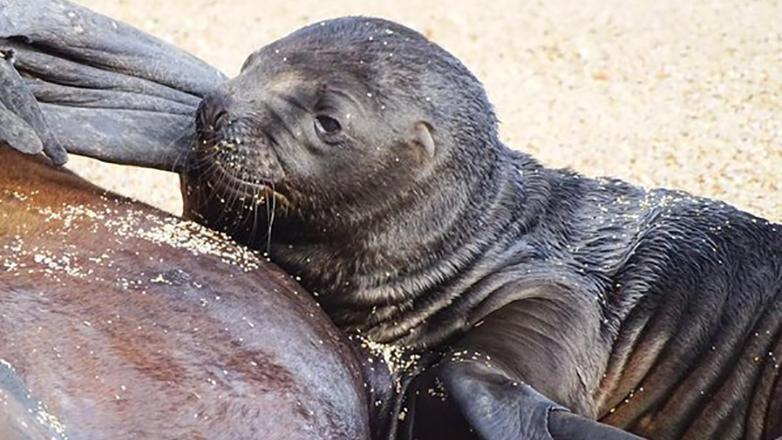 Una leona marina dio a luz en la playa de Manantiales, ante la mirada de los turistas