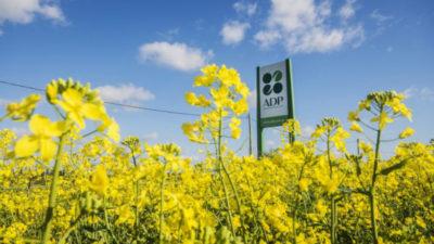 La colza se posiciona en Uruguay como un cultivo de invierno alternativo y rentable
