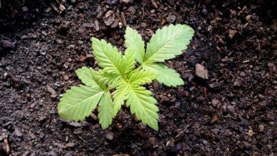 Se celebra hasta el viernes la Semana de la Cannabis Medicinal, con varias actividades