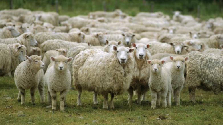 Secretariado Uruguayo de la Lana destacó cinco avances registrados en el sector ovino en 2017