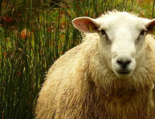 La lana uruguaya está equipando coches de lujo en Alemania y aviones