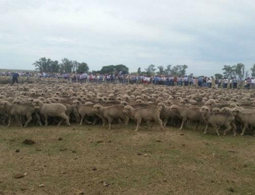 Casi medio millar de personas vieron más que Merino Australiano en La Magdalena