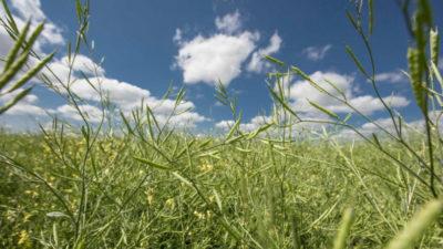 UPM incrementa en más de 30% la superficie de siembra con carinata