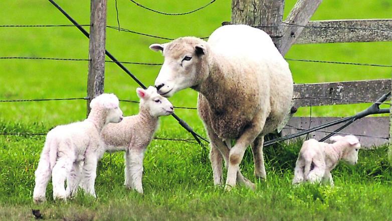 Impulsan tecnologías para poder salvar más corderos