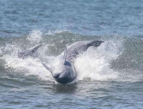Los delfines se pasaron la tarde surfando olas en La Paloma