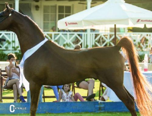 Una semana de actividades con caballos árabes