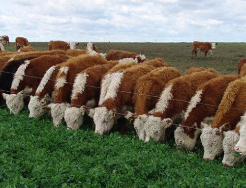 Estadounidenses con muy buena percepción sobre carnes uruguayas producidas «a pasto»