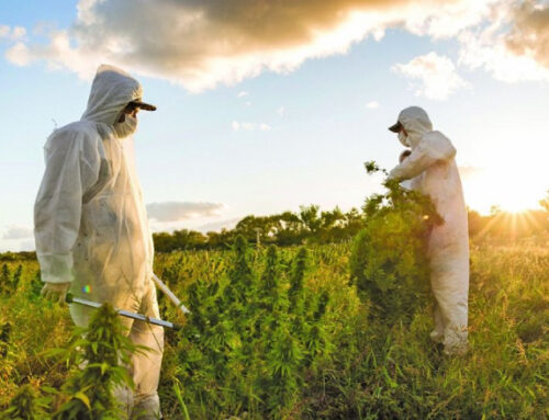 Cannabis medicinal, una industria que pide cancha para abrirse al mundo