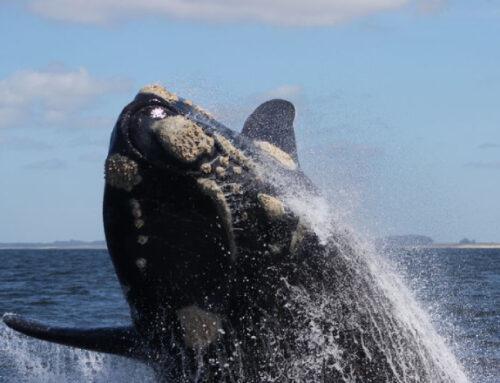 Temporada de ballenas: los lanzamientos se realizan desde este jueves y por Zoom