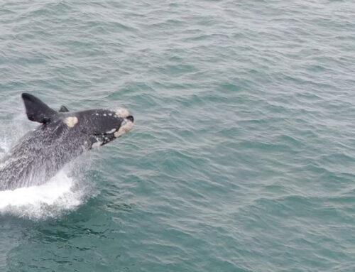 Cámara captó los saltos de una ballena franca en la costa de Maldonado