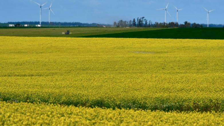 Campos amarillos: por qué la cosecha de canola de 2020 será la más grande de la historia