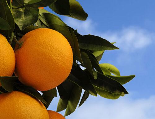 Uruguay launches new citrus varieties
