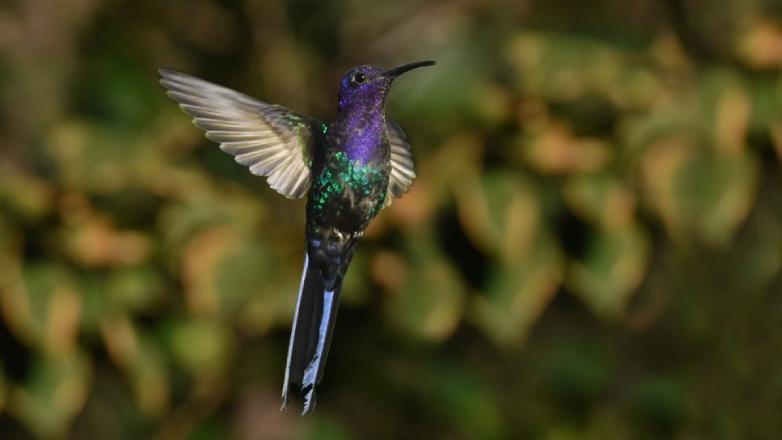 Detectan al mayor picaflor registrado en Uruguay y otras especies de aves nuevas en 2020