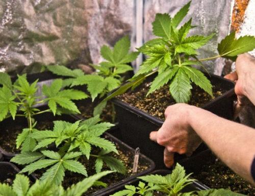 Otro negocio para el cannabis medicinal: Uruguay como hub de distribución regional