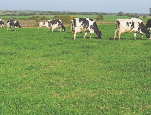 Conaprole fue reconocida por su sistema de alimentación de ganado a pasto