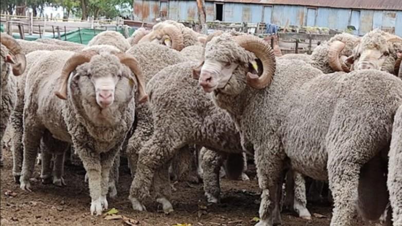 Establecimiento duraznense produjo la lana más fina en la historia del Uruguay