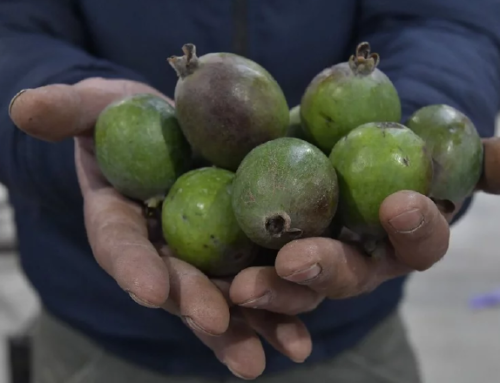 Guayabo: El fruto nativo que se comercializa por primera vez en la UAM